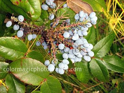 Creeping mahonia-Mahonia repens-berries