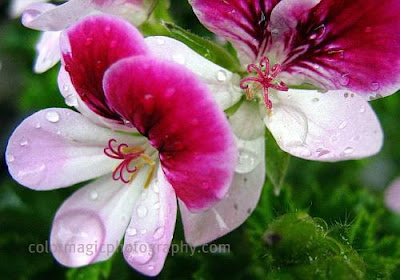Geranium-Pelargonium crispum-macro photo