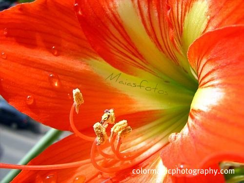 Amaryllis close-up-macro