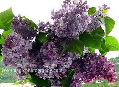 Purple lilacs bouquet