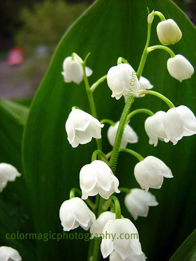 Lily of the valley-close-up