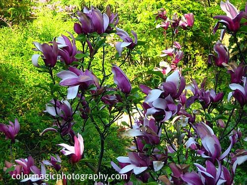 Japanese magnolia tree