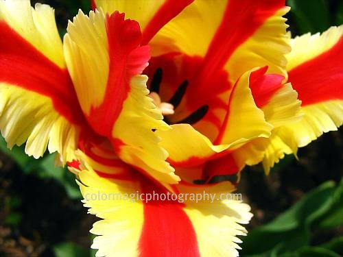 Yellow-red parrot tulip-macro