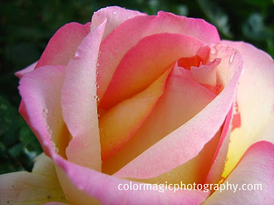 Raindrops on pink rose - macro