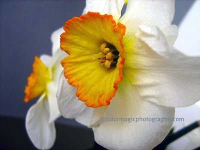 White daffodils-macro photo