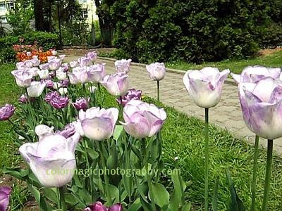 White purple tulips