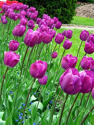 Beautiful purple tulips near an alley