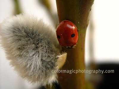 Two spot ladybug-Adalia bipunctata-macro