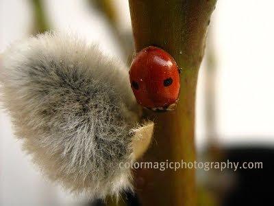 Two spot ladybug-Adalia bipunctata-macro