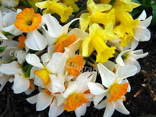 Beautiful bouquet of daffodils