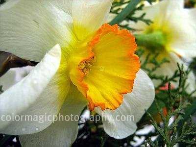 White daffodil with yellow center