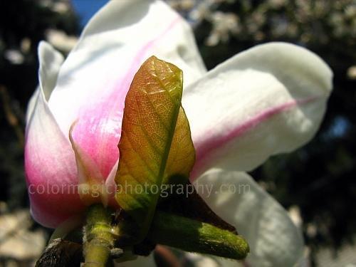 White magnolia-macro