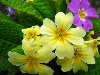 Yellow and violet primulas-primrose photos