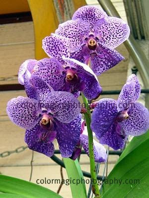 Wall hanging Vanda orchid