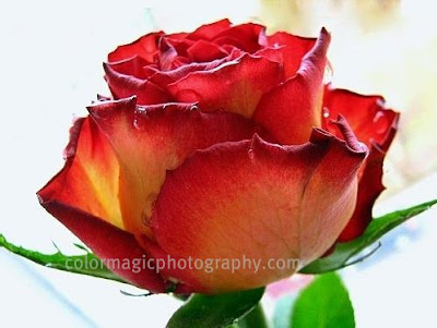 Red-yellow rose with raindrops-macro