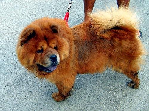 Chow Chow dog on sidewalk