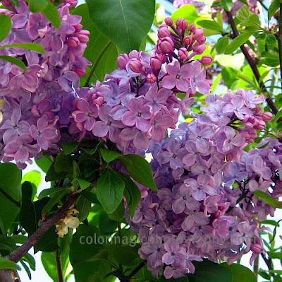 Purple lilac close-up