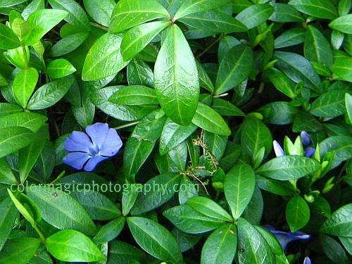 Myrtle - Lesser Periwinkle flower and plant-macro photo