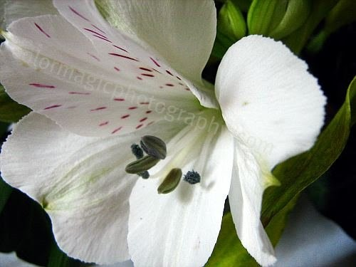 White Alstroemeria Macro Macro Flowers Saturday 7