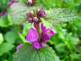 Purple dead-nettle flower