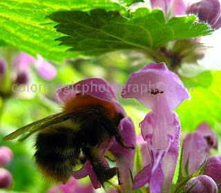 Humble-bee on a purple dead-nettle