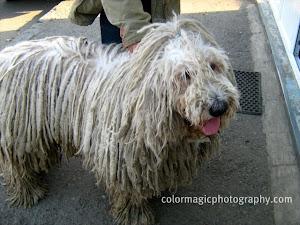 The Hungarian Komondor-a huge breed dog
