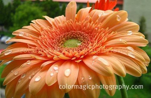 Peach Gerbera Daisy-macro
