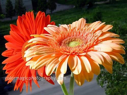 Gerera daisies