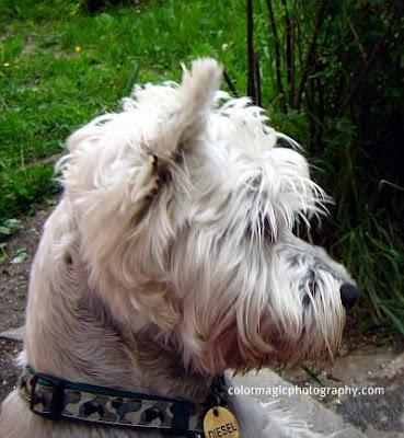 Westie portrait-West Highland White Terrier photo
