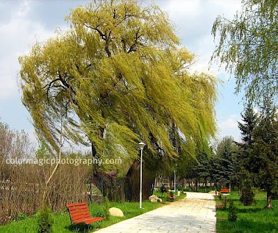 Weeping willow in the park