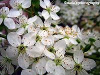 Spring blossom closeup