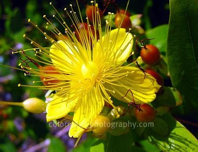 Flower closeup of Hypericum calycinum also called Creeping St.John's Wort