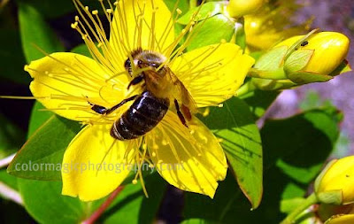 Closeup of St.John's Wort-hidcote flower with a bee