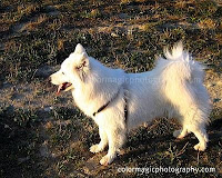Samoyed dog named Bella