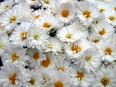 A bunch of white chrysanthemums