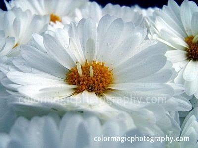 White chrysanthemum close-up