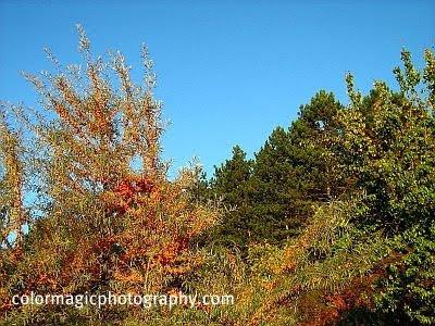 Sea buckthorn shrubs