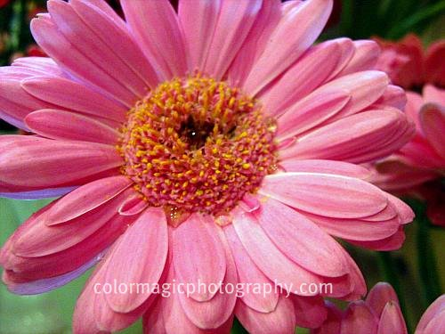 Pink gerbera daisy close-up