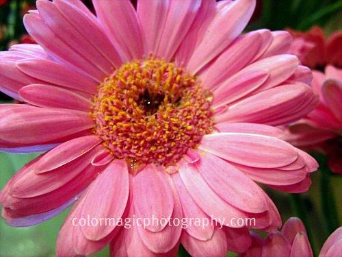 Pink gerbera daisy close-up