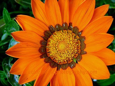 Orange gazania close-up macro