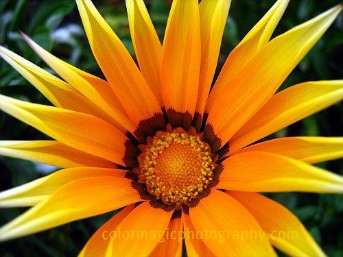 Yellow gazania close-up macro