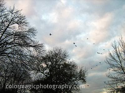 Crow flock gathering on the treetops