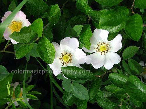 Wild rose bush-Dog rose