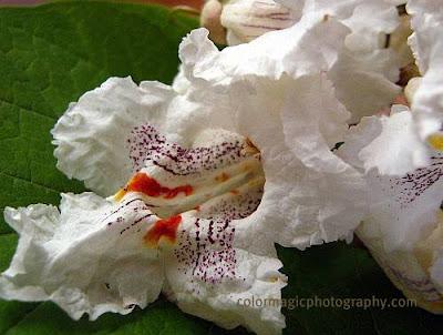 Catalpa blossom-macro