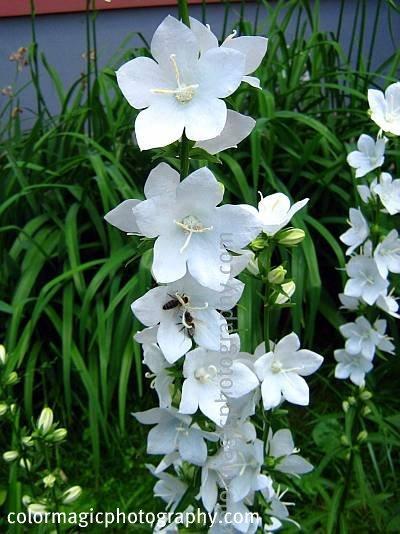 Campanula persicifolia-white bellflowers