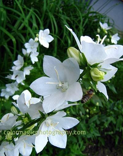 Bellflower-Campanula persicifolia