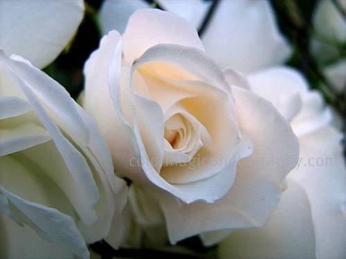 White cream roses