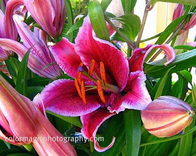Oriental lilies-Stargazer lilies