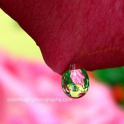 Rosebush reflected in raindrop
