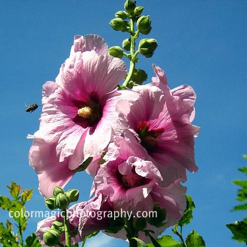 Pink hollyhock